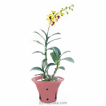 Yellow Dendrobium Orchid Plant